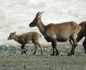Mamma e cucciolo di stambecco al Colle Nord delle Cime Bianche – Foto di Gian Mario Navillod.