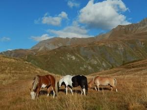 I cavalli dell'Alpe Lechère di Courmayeur - Foto di Gian Mario Navillod.