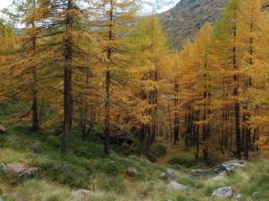 larici autunnali lungo il sentiero tra l'alpeggio superiore e quello inferiore del Pian di Verra - Foto di Gian Mario Navillod.