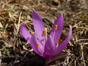 Bulbocodium vernum al Lago di Lod di Chamois - Foto di Gian Mario Navillod.