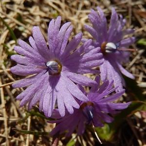 Soldanella alpina, particolare del fiore - Foto di Gian Mario Navillod.