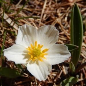 Ranunculus keupferi - Foto di Gian Mario Navillod.