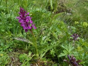 Orchidea nella Zona Speciale di Conservazione ZSC di Lo Ditor - Torgnon - Foto di Gian Mario Navillod.