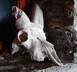 Cranio di stambecco all'alpe Chomioi/Tsomioy di Torgnon - Foto di Gian Mario Navillod.