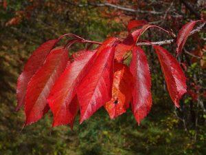Fall foliage a Torgnon - foglie di ciliegio il 24 settembre 2017 - Foto di Gian Mario Navillod.