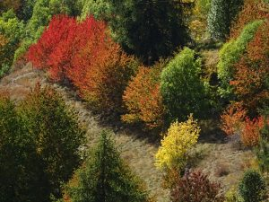 Fall foliage a Torgnon - le foglie rosse dei ciliegi il 24 settembre 2017 - Foto di Gian Mario Navillod.