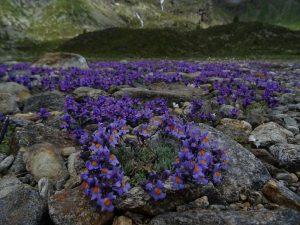 Linaria alpina alla Diga di Cignana - Foto di Gian Mario Navillod.