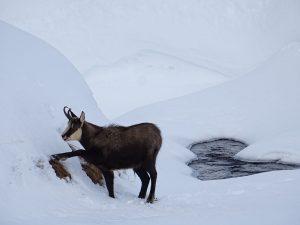 Nel Parco Nazionale del Gran Paradiso un camoscio scava nella neve per raggiungere l'erba - Foto di Gian Mario Navillod.