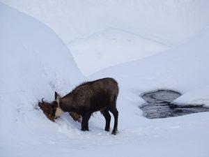 Nel Parco Nazionale del Gran Paradiso un camoscio bruca l'erba dopo aver scavato la neve per raggiungerla - Foto di Gian Mario Navillod.