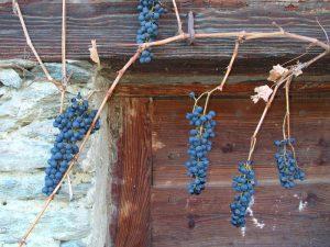 Vitis vinifera del Rovet di Torgnon quota 1235 m s.l.m. - Foto di Gian Mario Navillod.