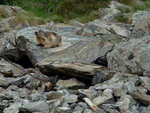 La marmotta (Marmota marmota) curiosa lungo la ciclabile Perrères-Promoron - Foto di Gian Mario Navillod.