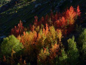 Populus tremula nei pressi dell'Alpe la Pesse Damon - Foto di Gian Mario Navillod.