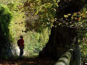 Castagno (Castanea sativa) lungo il Ru Châtaigne a Pont-Bozet - Foto di Gian Mario Navillod.