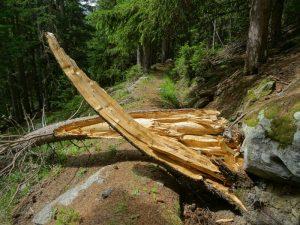 Tronco schiantato di abete (Picea abies) lungo il Ru de Vuillen/Vullien - Foto di Gian Mario Navillod.