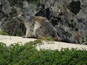 Marmotta (Marmota marmota) lungo il Ru de Vuillen/Vullien dismesso - Foto di Gian Mario Navillod.