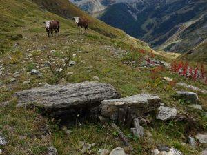 Manze curiose lungo il Ru d'Alp Vuillen - Foto di Gian Mario Navillod.