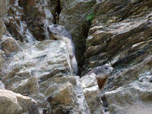 Le marmotte alpiniste del Ru de By - Foto di Gian Mario Navillod.