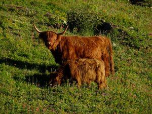 Mucca e vitello highlander al pascolo in Val d'Ayas - Foto di Gian Mario Navillod.