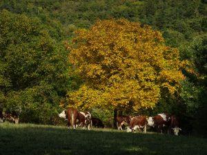 Noce e mucche al pascolo lungo il Ru Pompillard - Foto di Gian Mario Navillod.