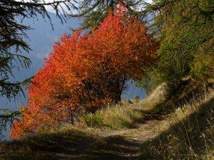Le foglie rosse dei ciliegi selvatici lungo il Ru d'Allein - Foto di Gian Mario Navillod.