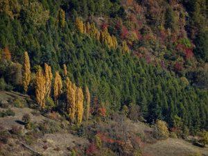 Pioppi cipressini (Populus pyramidalis Rozier) visti dal Ru de Vaud - Foto di Gian Mario Navillod.