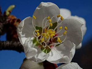Fiori di mandorlo (Prunus dulcis) lungo la pista della salute di Pontey - Foto di Gian Mario Navillod.