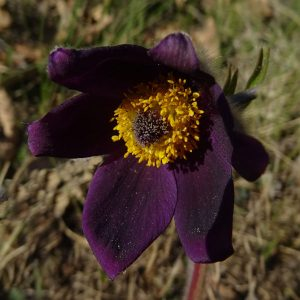 Fiore di anemone montana (Pulsatilla montana) - Foto di Gian Mario Navillod.