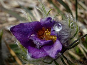 Fiore di anemone di Haller (Pulsatilla halleri) - Foto di Gian Mario Navillod.