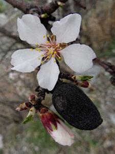 Fiori di mandorlo (Prunus dulcis) lungo il Ru Neuf di Aymavilles - Foto di Gian Mario Navillod.