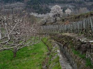 Vigneti e meleti lungo il Ru Neuf a Jovençan - Foto di Gian Mario Navillod.